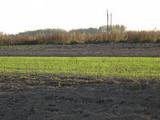 Вредители зерновых колосовых: зимний зерновой клещ